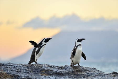 African penguins (spheniscus demersus) The African penguin on the shore in  evening twilight.  Red sunset sky. Stock Photo