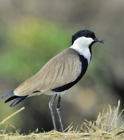 Close up portrait of Spur-winged lapwing. The spur-winged lapwing or spur-winged plover (Vanellus spinosus) is a lapwing species.