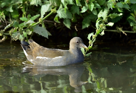 The common moorhen (Gallinula chloropus) (also known as the waterhen and as the swamp chicken) is a bird species in the family Rallidae.