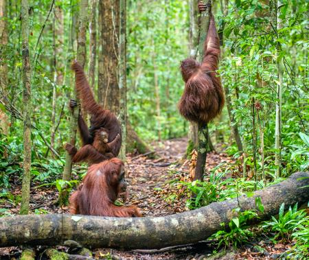The Bornean orangutans (Pongo pygmaeus wurmbii) in the wild nature. Tropical Rainforest of Borneo Island. Indonesia