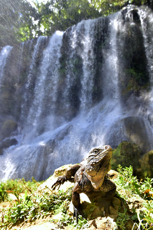 Iguana in the forest beside a water fall. Cuban rock iguana (Cyclura nubila), also known as the Cuban ground iguana.