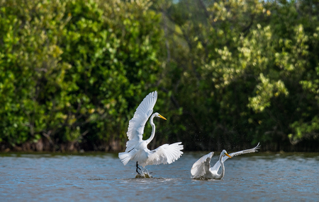The fighting great egrets ( Ardea alba ). Natural green background. Cuba Stock Photo