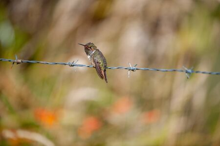 The hummingbird on prickly a prowolf. The small bird of the hummingbird sits on prickly a prowolf against colourful bright vegetation.