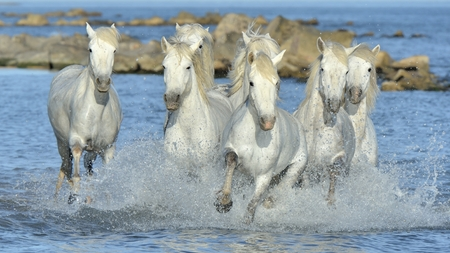 Herd of White Camargue Horses running on the water. Parc Regional de Camargue - Provence, France