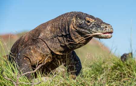Komodo dragon (Varanus komodoensis) with the forked tongue sniff air. Biggest in the world living lizard in natural habitat. Island Rinca. Indonesia.