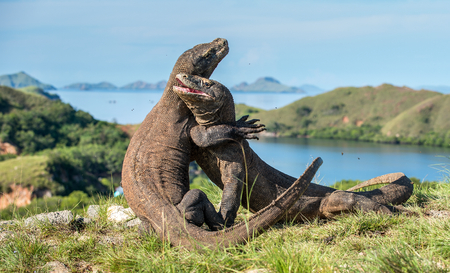 The Fighting Komodo dragons(Varanus komodoensis) for domination. It is the biggest living lizard in the world. Island Rinca. Indonesia. Stock Photo