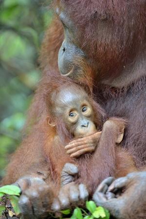 Mother orangutan and cub in a natural habitat. Bornean orangutan (Pongo  pygmaeus wurmmbii) in the wild nature. Rainforest of Island Borneo. Indonesia. 写真素材