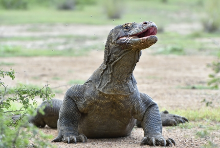 The Portrait of Komodo dragon ( Varanus komodoensis ) with opened a mouth. Biggest living lizard in the world. Island Rinca. Indonesia. Stock Photo
