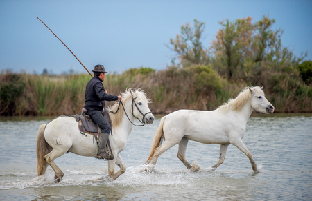 Rider on the White horse drives the horses through the water. Herd of white horses galloping through water. France . Camargue Stock Photo - 94092014