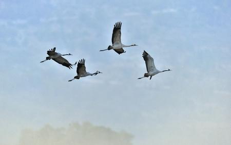 Birds in flight. A silhouettes of cranes in flight. Common Crane, Grus grus or Grus Communis, big bird in the natural habitat.