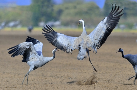 Cranes dancing in the field. The common crane (Grus grus), also known as the Eurasian crane.