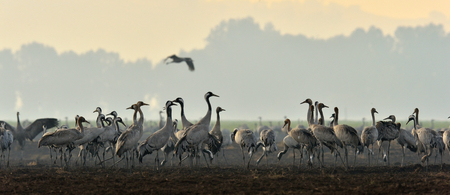 Cranes in a field foraging. Common Crane, Grus grus, big bird in the natural habitat. Feeding of the cranes at sunrise in the national park. Agamon of Hula Valley in Israel.