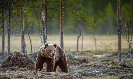 Wild adult Brown Bear (Ursus Arctos) in the summer forest. Stock Photo