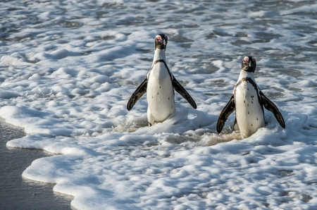 African penguin walk out of the ocean in the foam of the surf. African penguin ( Spheniscus demersus) also known as the jackass penguin and black-footed penguin. Boulders colony. South Africa