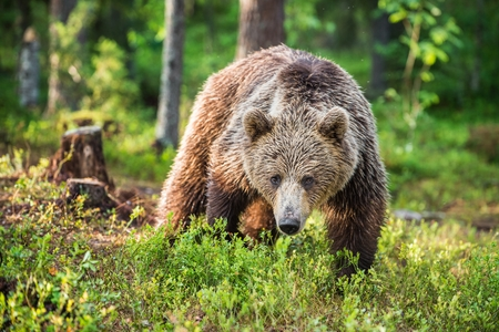 Wild Brown bear (Ursus Arctos Arctos) in the summer forest. Natural green Background Фото со стока
