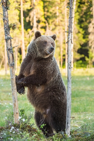 The She-bear standing on his hind legs on the swamp on summer forest. Ursus Arctos ( Brown Bear)