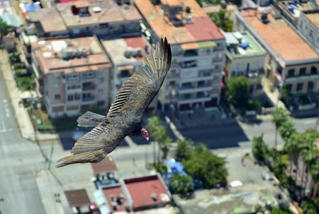 The American vultures (Cathartidae Lafresnaye) soars over Havana Cuba. Birds eye view over city of Havana,Cuba. Aerial view