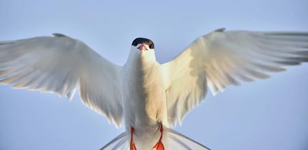 Flitting  The Common Tern (Sterna hirundo) on blue sky background. The Common Tern (Sterna hirundo) is a seabird of the tern family Sternidae.