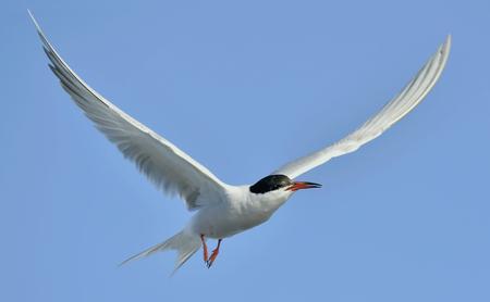 Flitting  The Common Tern (Sterna hirundo) on blue sky background.\ The Common Tern (Sterna hirundo) is a seabird of the tern family Sternidae.  Standard-Bild