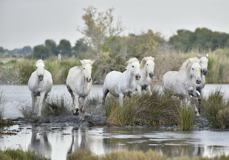 Herd of white horses running through water in sunset light. Parc Regional de Camargue - Provence, France Stock Photo
