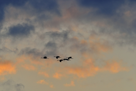 A silhouettes of cranes in flight. Flock of cranes flies at sunrise. Common Crane. Scientific name: Grus grus or Grus Communis,