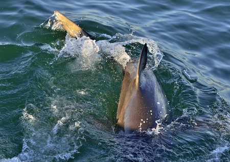Dorsal fin of great white shark. Great white shark (Carcharodon carcharias), Gansbaai, South Africa