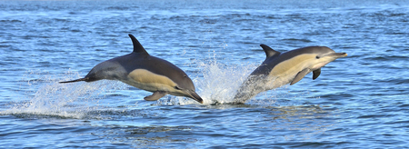 Dolphins, swimming in the ocean. Dolphins swim and jumping from the water. The long-beaked common dolphin (scientific name: Delphinus capensis) in the atlantic ocean.