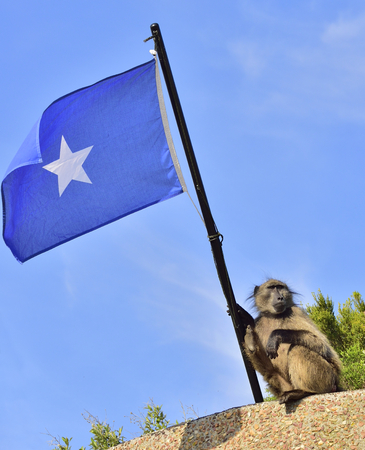 Baboon with Somali flag on blue sky background. The Chacma baboon (Papio ursinus), also known as the Cape baboon. Stock Photo