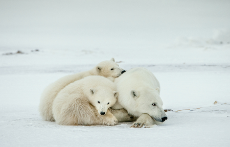 Bear cubs with a she-bear. Polar she-bear with bear cubs. A Polar she-bear with two small bear cubs. The polar bears (Ursus maritimus) in Snow tundra, blizzard. Banque d'images