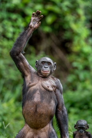 Close up Portrait of Bonobo with hand up. Natural habitat. Green natural background. The Bonobo ( Pan paniscus), called the pygmy chimpanzee. Democratic Republic of Congo. Africa
