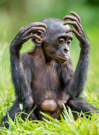 Close up Portrait of Bonobo Cub  in natural habitat. Green natural background. The Bonobo ( Pan paniscus), called the pygmy chimpanzee. Democratic Republic of Congo. Africa Stock Photo