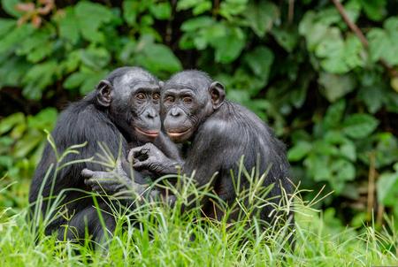 緑の自然の背景に自然の生息地のボノボ。ピグミーチンパンジーと呼ばれるボノボ(パンパニスカス)。コンゴ民主共和国アフリカ