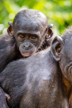 Close up Portrait of Bonobo Cub on the mothers back in natural habitat. Green natural background. The Bonobo ( Pan paniscus), called the pygmy chimpanzee. Democratic Republic of Congo. Africa Stock Photo