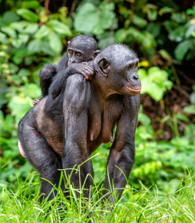 Bonobo Cub on the mother`s back in natural habitat. Close up Portrait. Green natural background. The Bonobo Pan paniscus, called the pygmy chimpanzee. Democratic Republic of Congo. Africa