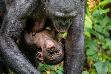 Mother and Cub of Bonobo in natural habitat. Close up Portrait. Green natural background. The Bonobo ( Pan paniscus), called the pygmy chimpanzee. Democratic Republic of Congo. Africa Foto de archivo