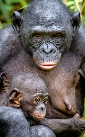 Mother and Cub of Bonobo in natural habitat. Close up Portrait. Green natural background. The Bonobo ( Pan paniscus), called the pygmy chimpanzee. Democratic Republic of Congo. Africa Stock Photo
