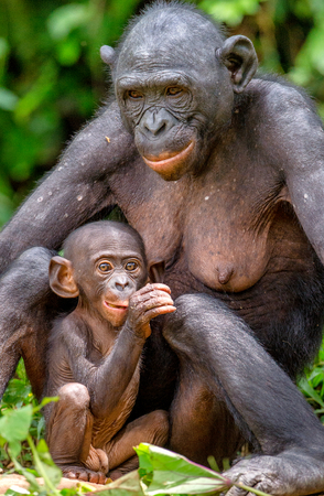 Mother and Cub of Bonobo in natural habitat. Close up Portrait. Green natural background. The Bonobo ( Pan paniscus), called the pygmy chimpanzee. Democratic Republic of Congo. Africa Standard-Bild