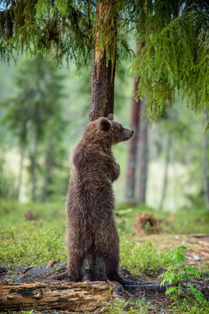 The juvenile brown bear standing on hinder legs. Ursus Arctos ( Brown Bear)