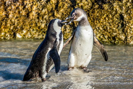 Kissing African penguins on the beach. African penguin ( Spheniscus demersus) also known as the jackass penguin and black-footed penguin. Boulders colony. Cape Town. South Africa Archivio Fotografico