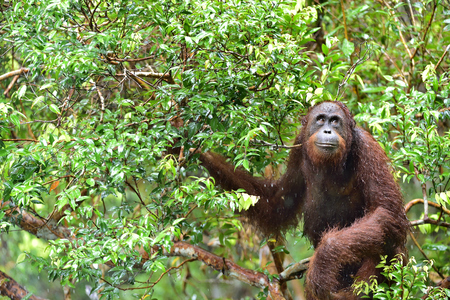 Bornean orangutan (Pongo pygmaeus) on the tree under the rain in the wild nature. Central Bornean orangutan (Pongo pygmaeus wurmbii) on the tree in natural habitat. Tropical Rainforest of Borneo.Indonesia