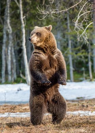Bruine beer (Ursus-arctos) die zich op zijn achterste benen op een moeras in het de lentebos bevinden.