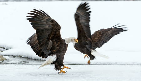 Bald Eagle ( Haliaeetus leucocephalus washingtoniensis ) in flight. Alaska in snow