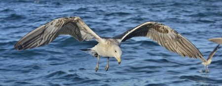 Flying Juvenile Kelp gull (Larus dominicanus), also known as the Dominican gull and Black Backed Kelp Gull. Blue water background. False Bay, South Africa