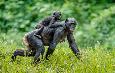 Bonobo Cub on the mothers back . Green natural background in natural habitat. The Bonobo ( Pan paniscus), called the pygmy chimpanzee. Democratic Republic of Congo. Africa