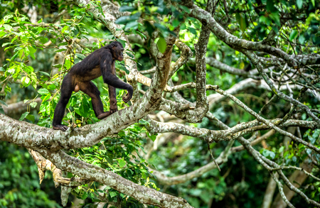 Bonobo on the branch of the tree in natural habitat. Green natural background. The Bonobo ( Pan paniscus)