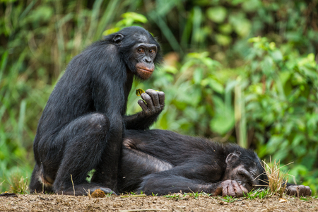 Bonobos mating. The bonobo ( Pan paniscus), formerly called the pygmy chimpanzee and less often, the dwarf or gracile chimpanzee. Natural habitat. Democratic Republic of Congo. Africa Reklamní fotografie - 94248332
