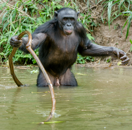 Bonobo in the water. Natural habitat. Green natural background. The Bonobo ( Pan paniscus), called the pygmy chimpanzee. Democratic Republic of Congo. Africa