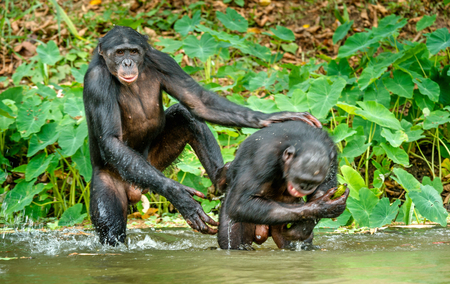 The chimpanzees of Bonobo are bathing with pleasure and smiles. The bonobo (pan paniscus), formerly called the pygmy chimpanzee and less often, the dwarf or gracile chimpanzee. Democratic Republic of Congo. Africa Stockfoto
