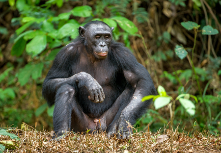 Adult male of Bonobo on the Green natural background in natural habitat. The Bonobo ( Pan paniscus), called the pygmy chimpanzee. Democratic Republic of Congo. Africa