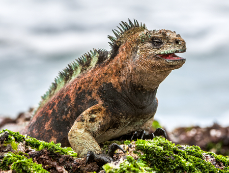 A male of Galapagos Marine Iguana resting on lava rocks (Amblyrhynchus cristatus). The marine iguana on the black stiffened lava.  Galapagos Islands Stock Photo